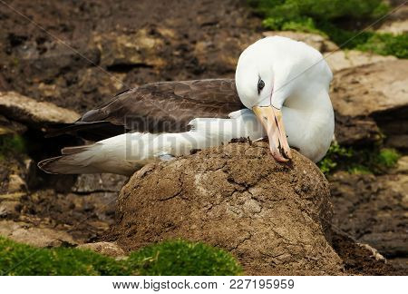 Black-browed Albatross Building A Nest From Mud For A New Chick, Falkland Islands.