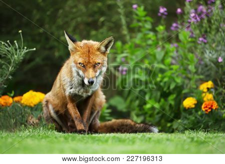 Close-up Of A Red Fox Standing In The Garden With Flowers, Summer In Uk.