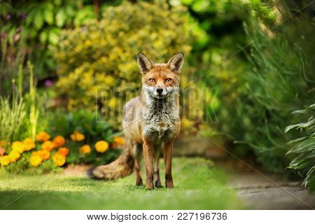 Red Fox Standing In The Garden With Flowers, Summer In Uk.