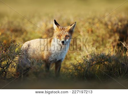 Close Up Of A Young Red Fox Standing In The Field Of Grass On A Sunny Evening.