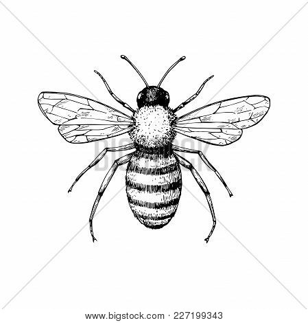 Honey Bee Vintage Vector Drawing. Hand Drawn Isolated Insect Sketch. Engraving Style Illustrations.