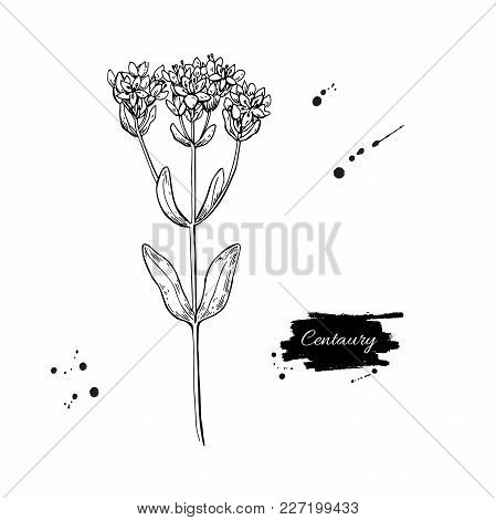 Centaury Vector Drawing. Hand Drawn Herb Sketch. Botanical Medical Plant Engraving.