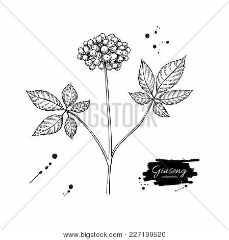 Ginseng Berry Vector Drawing. Medical Plant Sketch. Engraved Botanical Object. Hand Drawn Illustrati