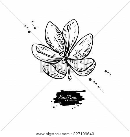 Saffron Flower Vector Drawing. Hand Drawn Herb And Food Spice. Engraved Vintage Flavor. Crocus Botan
