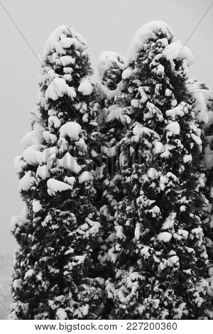Black And White Impression Of A Conifer With Snow On Their Branches