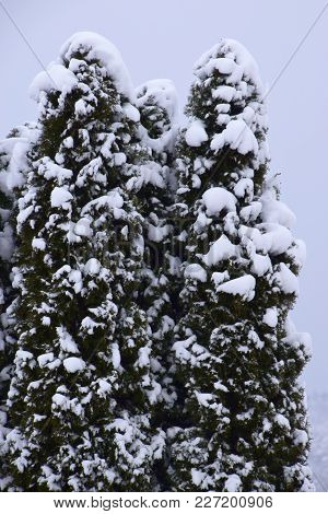 Conifer Tree With Fresh Snow On Their Branches