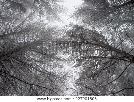 High Trees In A Mysterious Woods In Winter