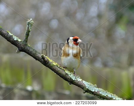 Goldfinch Perched On A Lichen Covered Branch