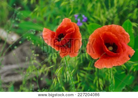 Red Poppies - A Symbol Of The Memory Of Victims Of All Military And Civilian Armed Conflicts. Honey