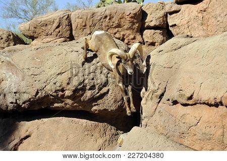 Bighorn Sheep Ram Leaping Down Mountain Cliff Boulders