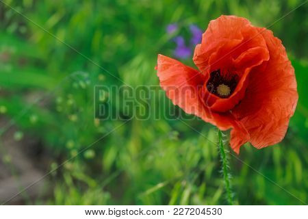 One Flanders, Red Poppy, Corn Rose, Field Is Flowering Plant Poppy Family Papaveraceae. Bees Collect