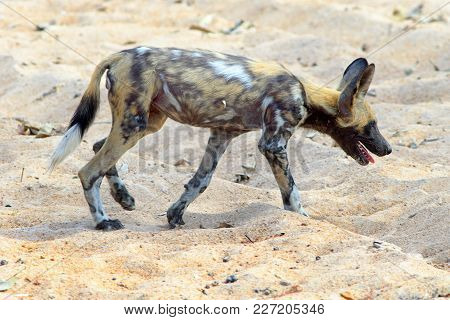 African Wild Dog - Also Known As A Painted Dog (lycaon Pictus) Walking Across The Dry African Svanna