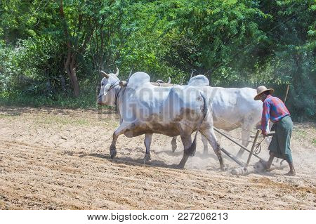 Bagan , Myanmar - Sep 06: Burmese Farmer Plowing With Oxen In Village Near Bagan Myanmar On Septembe