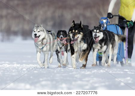 Enthusiastic Team Of Siberian Husky Dogs Running At Dog Sledding Race On Winter Sunny Day.