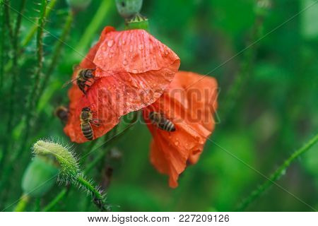 Bees Drink Water From Poppies After Rain. Papaver Rhoeas, Common, Corn, Flanders, Red Poppy, Corn Ro