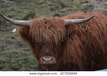 A highland cattle looking straight at the lens taken in Scotland