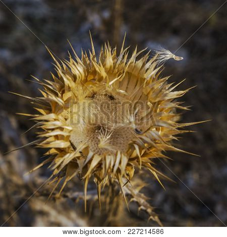 Dry Blossomed Flower, Golden Color Has A Prickly Receptacle, Seeds Scattered And One Seed Has Not Ye