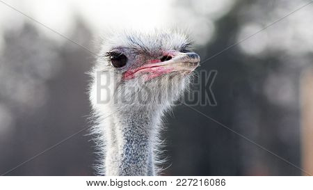 Portrait Of An Ostrich In Sunny Day, Animal