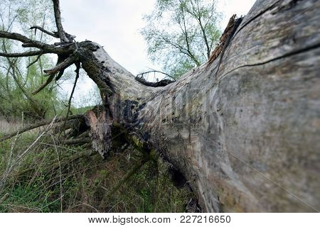 The Old Fallen Tree In Perspective. Broken Branches.