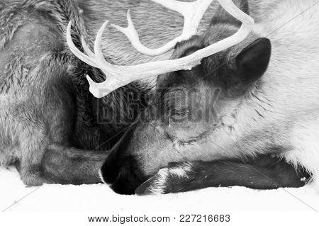 Sleeping Brown Hart Close Up, Wildlife, Close Up