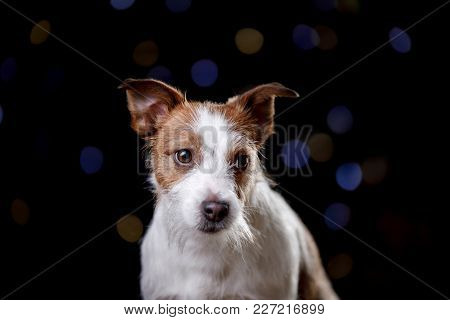 Dog On A Black Background. Jack Russell Terrier