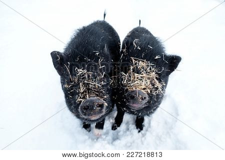 Minipigs In The Snow Covered With Straw