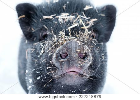 Minipig In The Snow Covered With Straw