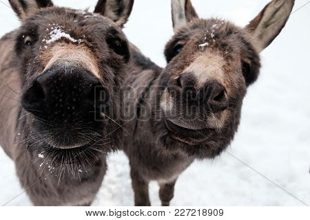 Curious Donkeys In The Snow Holding Their Muzzles Into The Camera