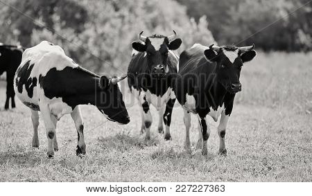 Not The Color Image Of Three Young Black-and-white Bull-calves On A Pasture.