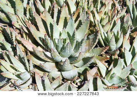 Short-leaved Aloe (aloe Brevifolia). Known As Kleinaalwyn Also
