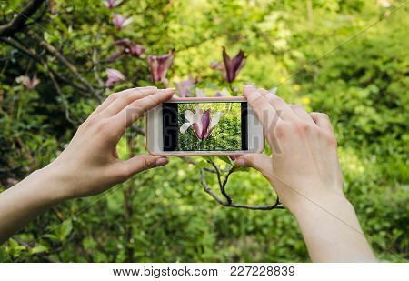 The Girl Is Taking Photos Of The Magnolia