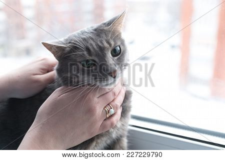 Beautiful Gray Cat With Green Eyes, Near The Window, For Any Purpose