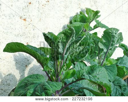 Cabbage With Beautiful Green Leaves Against Rustic White Wall.