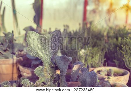 Different Types Of Cactus In Greenhouse, Closeup To Cacti In A Shape Of A Heart