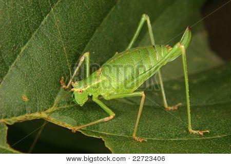 Female of a speckled bush-cricket (Leptophyes punctatissima) on a leaf poster
