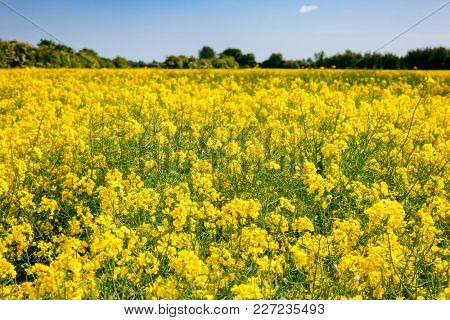 Yellow blooming rapeseed field in Kent, Southern England, UK. Rapeseed aka oilseed rape or charlock is cultivated for its oil-rich seed as a source of vegetable oil