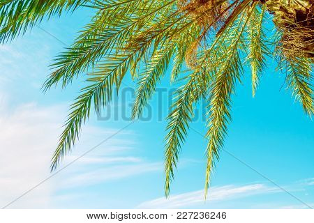 Low Angle View Of Hanging Long Spiky Feathery Palm Tree Leaves On Clear Blue Turquoise Sky Backgroun