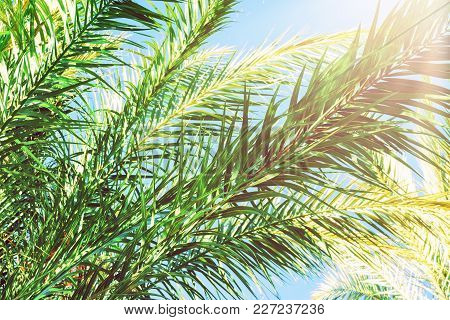 Long Spiky Feathery Branches Of Palm Trees On Bright Blue Sky Background. Golden Pink Peachy Pastel