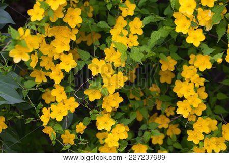 Golden yellow flowers of Kerria flower (Kerria japonica).