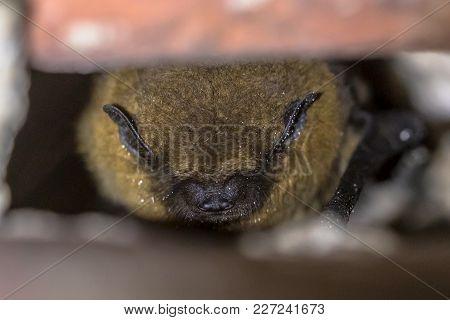 Hibernating Bat