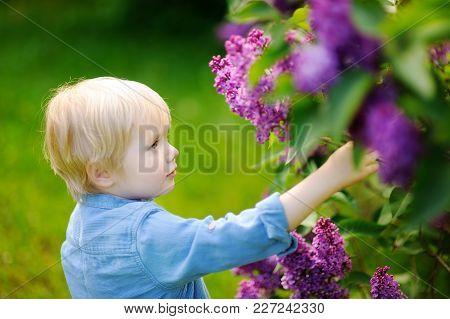 Cute Little Blonde Hair Boy Enjoy Blooming Lilac In The Domestic Garden In Warm Day. Seasonal Kid Al