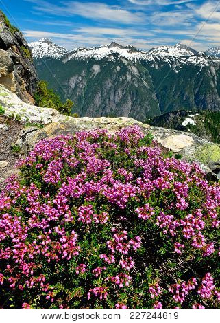 Alpine Wildflowers (mountain Heather) And Cascade Peaks From The Slopes Of Trappers Peak. North Casc