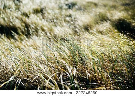 Closeup of backlit grass in a coastal meadow