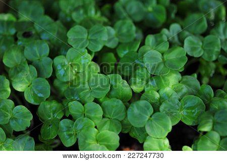 Green Okra Seedlings In Tree Shade Or Bower