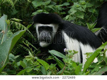 Colobus monkey on the Kilimanjaro in Tanzania poster