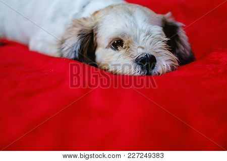 Cutely White Short Hair Shih Tzu Dog On Red Fabric Background With Copy Space For Animal And Pet Con