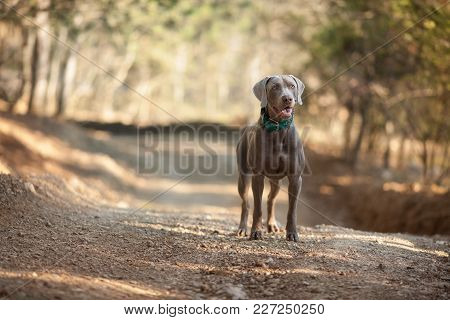 Beautiful Weimaraner Hunting Dog Stands On The Road
