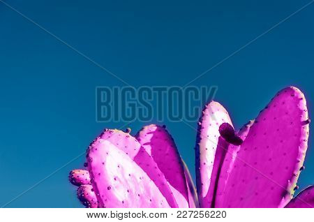 Creative Pink Prickly Pear Cactus Background And Blue Sky