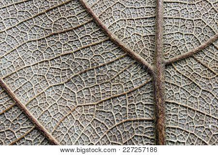 Super Macro Of Dry Pinnately Paralel Vien Leaf