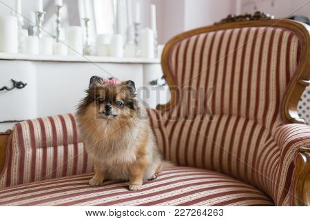 The Pomeranian Is A Breed Of Dog Of The Spitz Type That Is Named For The Pomerania Region In Germany